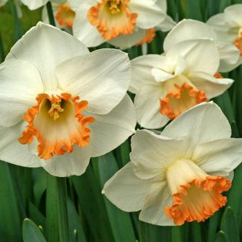 Spring Pride Daffodil