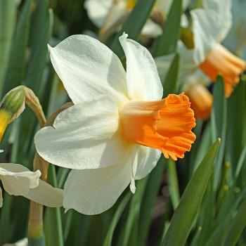 Kaydee Daffodil