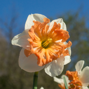 Shrike Split-Corona Daffodil