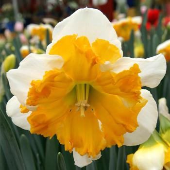 Sovereign Split-Corona Daffodil