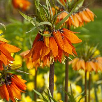 Fritillaria Imperialis Vivaldi