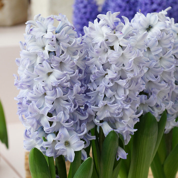 Blue Eyes Hyacinth
