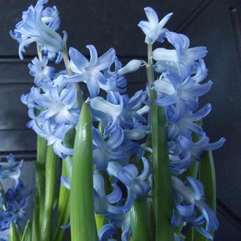 Festival Blue Hyacinth