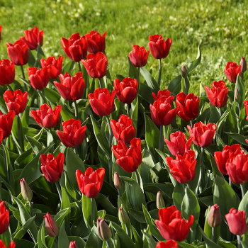 Ruby Prince Tulip