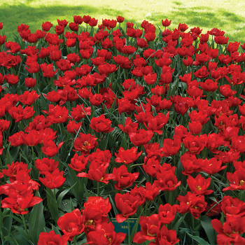 Abba Double Early Tulip