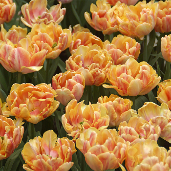 Foxy Foxtrot Double Early Tulip