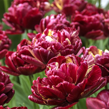Nachtwacht Double Early Tulip
