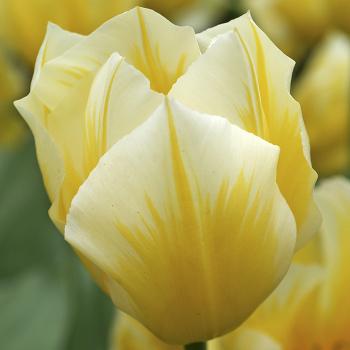 Sweetheart Fosteriana Tulip