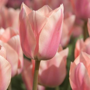 Apricona Triumph Tulip