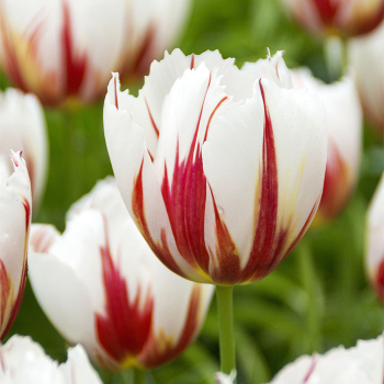 Happy Generation Triumph Tulip
