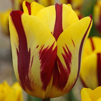 Helmar Triumph Tulip