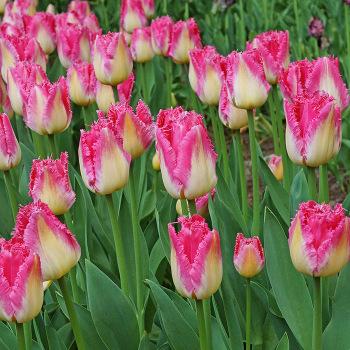 Auxerre Fringed Tulip