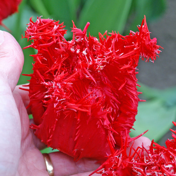 Barbados Fringed Tulip
