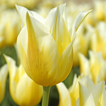Budlight Lily-Flowered Tulip