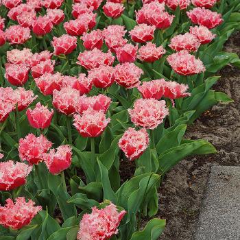 Queensland Double Late Tulip