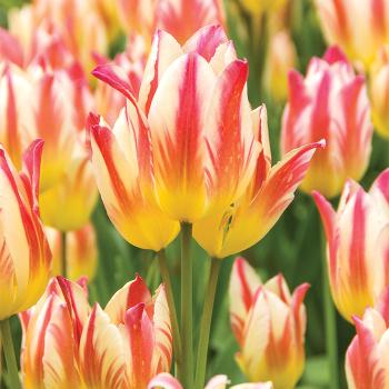 Tricolette Multi-Flowering Tulip
