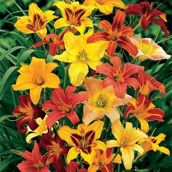 All-Color Hemerocallis Mix