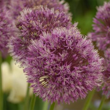 Allium Jesdianum Var. Early Emperor