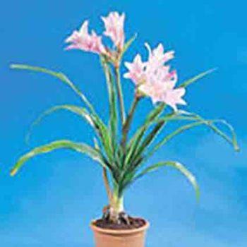 Amarcrinum (Crinodonna)