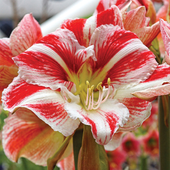Clown Amaryllis