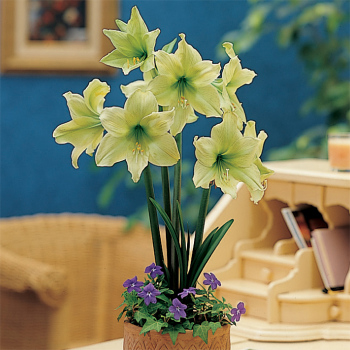 Lemon Lime Amaryllis
