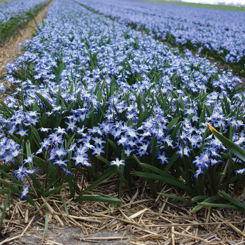 Chionodoxa Forbesii Blue Giant