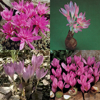 Best-Sellers Colchicum Collection