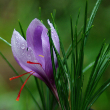 Saffron Crocus Special