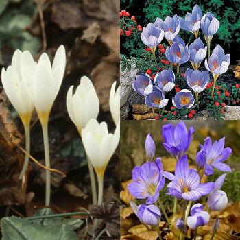 Fall-Flowering Crocus Collection