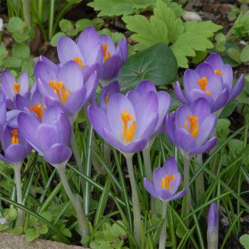 Crocus Tommasinianus Barrs Purple