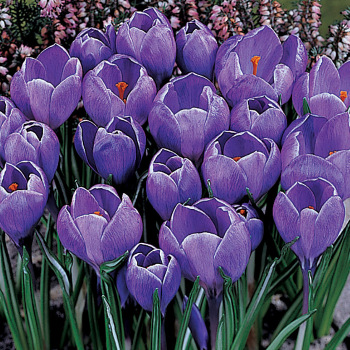 Grand Maitre Crocus