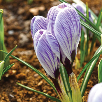 Pickwick Crocus