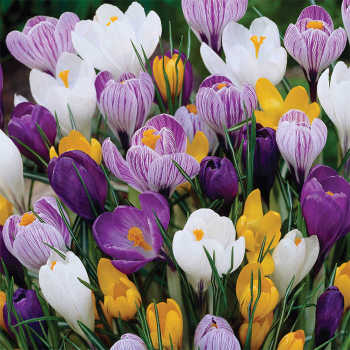 Large Flowering Dutch Crocus Mix