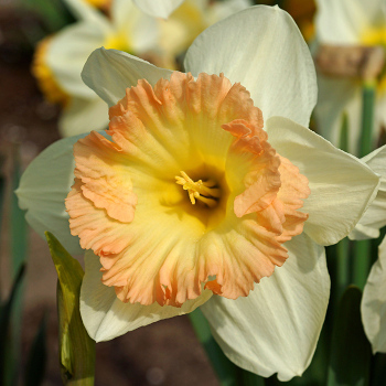 British Gamble Trumpet Daffodil