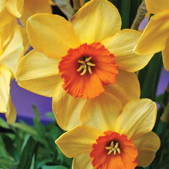 Ambergate Daffodil