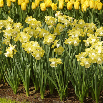 Avalon Large-Cupped Daffodil