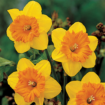 Scarlet O'hara Daffodil