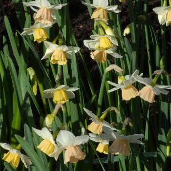 Katie Heath Daffodil