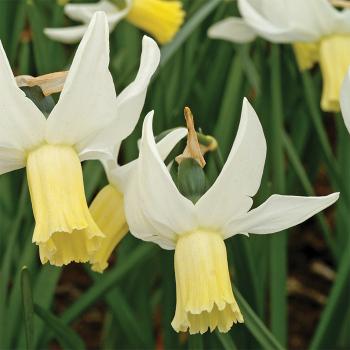 Jenny Daffodil