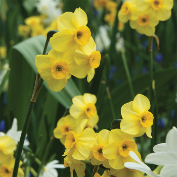 Baby Moon Miniature Daffodil