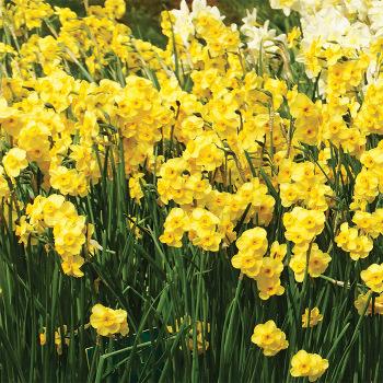 Kokopelli Daffodil