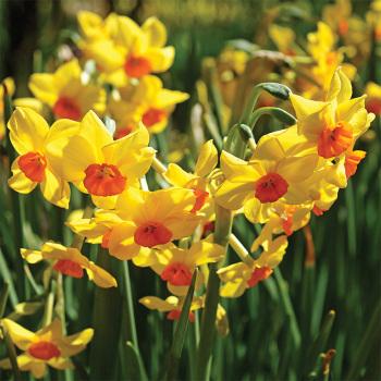 Falconet Daffodil