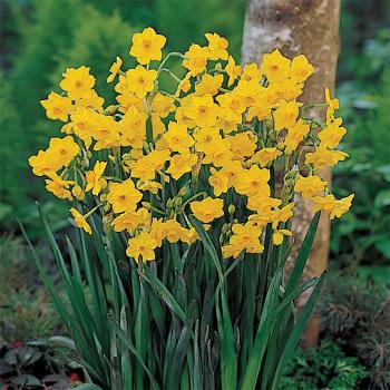 Grand Soleil D'or Paperwhite Daffodil