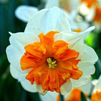 Parisienne Daffodil
