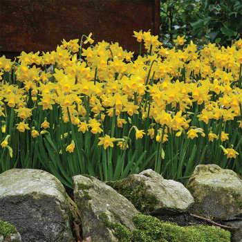 Tete-A-Tete Miniature Daffodil