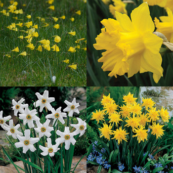 Wild Daffodil Collection (66 Bulbs)