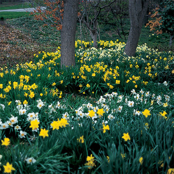 Naturalizing All Color Mix Daffodil