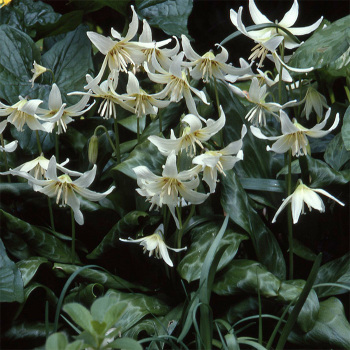 Erythronium Californicum White Beauty