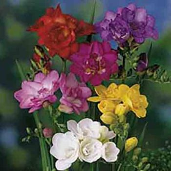 Double Flowering Mix Freesia