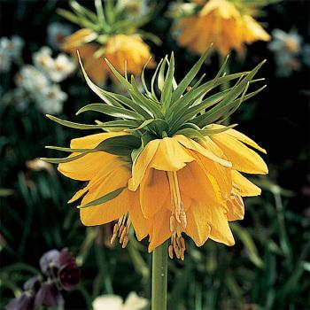 Fritillaria Imperialis Lutea Maxima